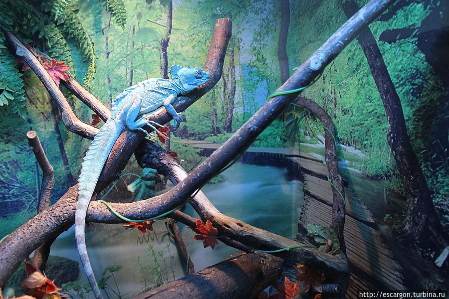 Василиск (Basiliscus plumifrons)