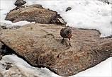 И тут появляется она — маленькая птаха с кирпичной грудкой, которую поначалу приняла за воробья. Она резво перепрыгивала с камня на камень, словно звала поиграть в пятнашки.  В погоне за ней, вернее, чтобы её сфотографировать, даже забыла об осторожности, перестав следить за тропою. И когда только та перелетела на край обрыва, усевшись на камень,  поумерила свой пыл — у меня-то крыльев нет