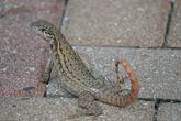 На Багамах обитает 44 вида рептилий. Символом островов является ящерица с витым хвостом, которую можно встретить греющейся на солнышке на большинстве островов.