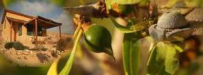Созревающий плод аргана