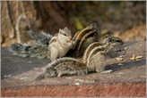 А вот одни из обитателей форта — индийские белки... Шучу! Это не кто иные, как самые настоящие бурундуки. Они совсем крошечные по сравнению даже с белкой. И очень юркие...