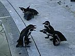 сорящиеся пингвины...