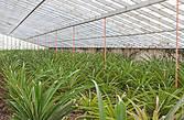 Для того, чтобы созрел один ананас требуется два года (от посадки, до снятия урожая). Поэтому в любое время года вы можете увидеть здесь как только-что посаженные ананасы, так и те, которые уже почти созрели и скоро будут собраны.