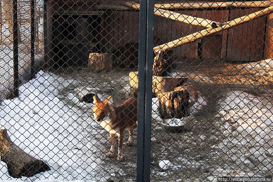 Красный волк (Cuonal pinus)  Основная часть его ареала приходится на горно-лесные области Центральной и Южной Азии. Красный волк — типичный обитатель гор, поднимается до 4000 м над уровнем моря. Большую часть года он держится в субальпийском и альпийском поясах, на юге ареала — в низко- и среднегорных тропических лесах, а в северо-восточных районах — в горной тайге, но везде его пребывание приурочено к скалистым местам и ущельям. Красный волк занесен в Красную книгу МСОП со статусом исчезающий вид (Endangered), а также в Красную книгу России.