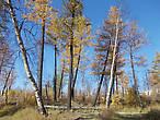 супер-северный лес. Такие лиственницы растут лет 200