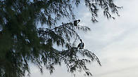 Впервые в жизни вижу пеликанов сидящих на сосне, что интересно не далеко от рыбного ресторана, на запах прилетели
