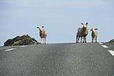 Был удивлен,что на севере Норвегии очень развито овцеводство. Они как олени ходят везде,где захотят.