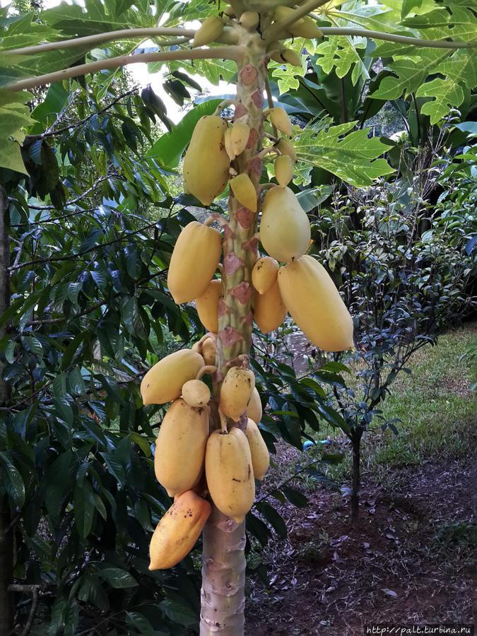 Вот такой фрукт растет в саду. Надпись есть, но на тайском