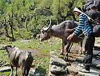 Спуск из деревни Чомронг. Если на пути попадался крупный рогатый скот, наш Шива старался отогнать их, чтобы мы прошли невредимыми