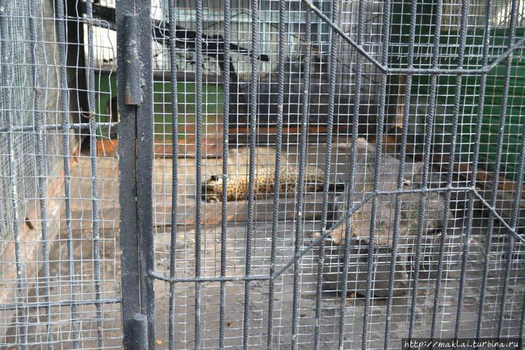 Леопард. Лежачая забастов