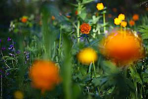 Жарки — их так много, что в закатном солнце кажется, что повсюду зажглись огоньки
