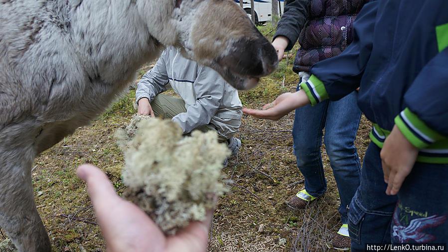 покормить оленя ягелем