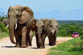 Вот примерно так туристы ездят на машинах среди слонов