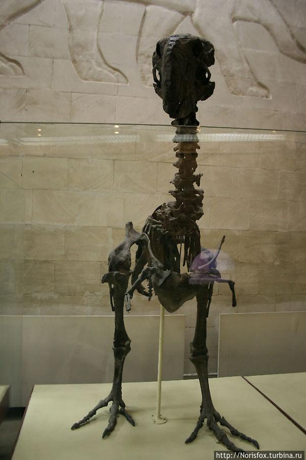 Гигантская нелетающая птица Диатрима. Ран. эоцен. США