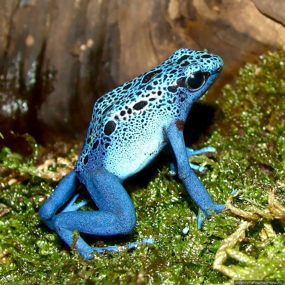 Лягушка голубой древолаз