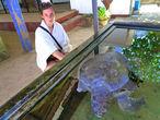 Большая белая черепаха, запутавший в рыболовных сетях, была спасена и направленна на реабилитацию фермы.