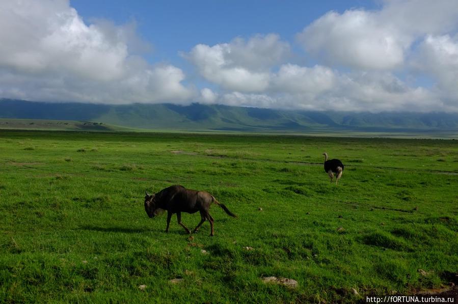 Антилопа гну и страус