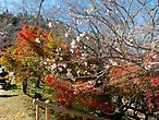 Начало цветения осенней сакуры