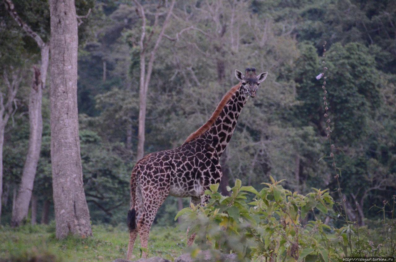 Жирафик по дороге из Аруши. Моши, Танзания