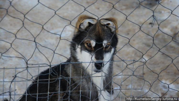 Ездовые собаки в этнокуль