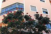 Африканское тюльпанное дерево, Спатодея колокольчиковая, (Spathodea campanulata)