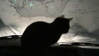 беломорский котик, ездовой