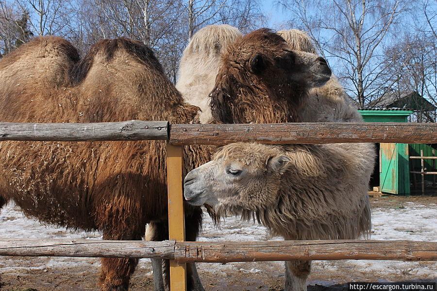 Двугорбый верблюд(Camelus bactrianusdom)  В прошлом дикий верблюд, по всей видимости, встречался на обширной территории значительной части Центральной Азии. Сейчас ареал дикого верблюда невелик и разорван — это 4 изолированных участка на территории Монголии и Китая. Двугорбые верблюды были одомашнены еще задолго до нашей эры и успешно используются человеком в первую очередь как вьючные и упряжные животные и по сей день.