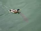 В пруду плавают карпы и утки