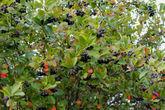 Осень радует не только цветением георгинов, но и урожаем ягод. Моя любимая черноплодка.