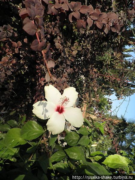 Китайская роза белого цве