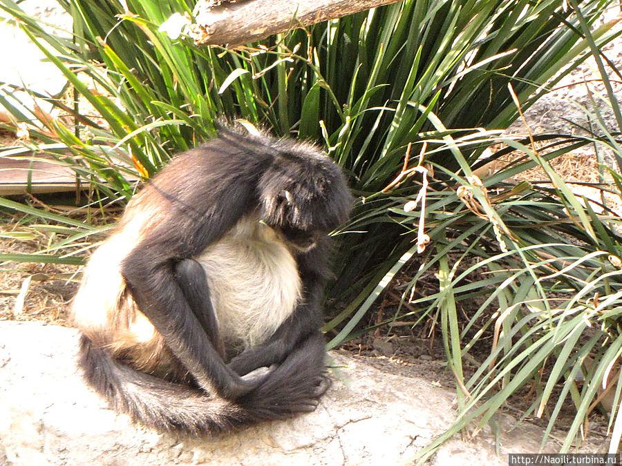 Эта обезьянка наверное готовится стать мамой