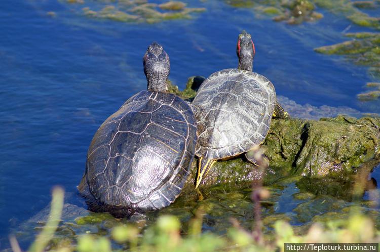 Болотные черепахи обитают