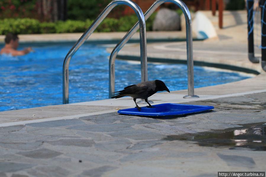 Ворона живущая в отеле утоляла жажду прямо из бассейна.