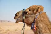 Милейшее создание. Вообще верблюды в Иордании очень почитаемые животные.