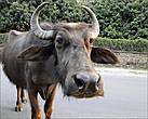 Откуда ни возьмись, на улице появились мохнатые то ли коровы, то ли волы с умильно-печальным выражением, тоже никуда не спешившие. Они тыкались мордами в прохожих, словно спрашивая их, что происходит...