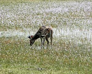 Четал – вид пятнистых оленей, обитающих на Шри-Ланке, в Индии, Непале. Название происходит от бенгальского слова «читрал», что означает «пятнистый».