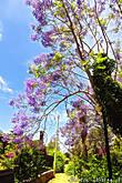 А вот еще одно чудесное дерево — жакаранда.