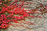 все это сочетание темных старых стен и красных линий растений кажется мне очень гармоничным и красивым — это пример точки равновесия природы и деятельности человека