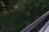 Вид с балкона на апельсины