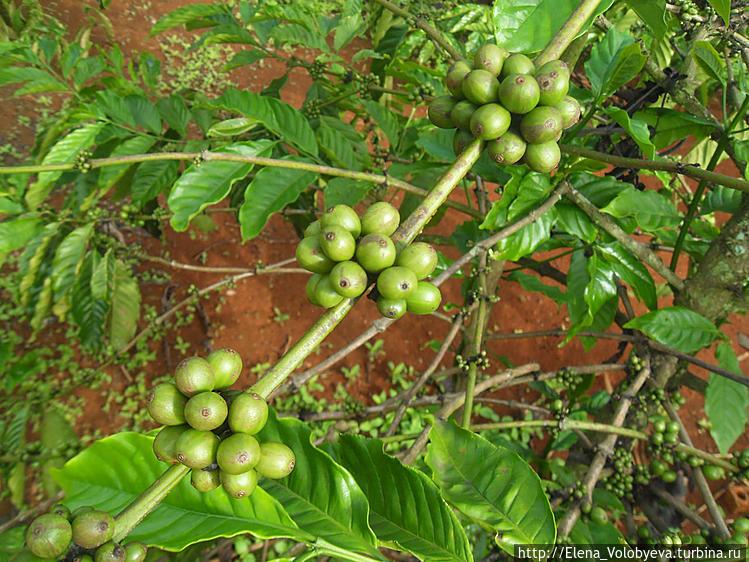 На кофейной плантации