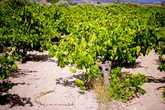 Дорога до пляжа проходит по полям и виноградинкам, и иногда кажется, что едешь не на пляж, а в какую-то глухую деревню. В этом и есть вся прелесть Миланды. Дорога без асфальтового покрытия наверняка отпугивает многих туристов, и если сравнивать Миланду с немноголюдным пляжем Писсури, то Миланда покажется абсолютно безлюдной.