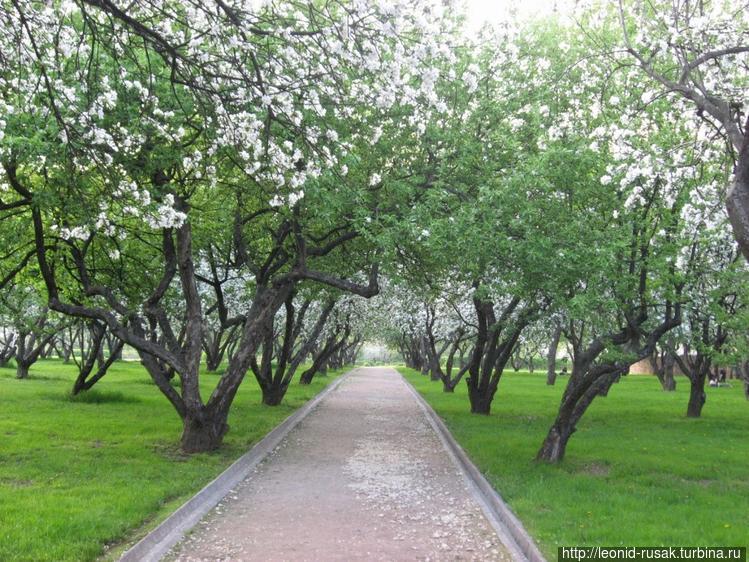Городские яблоневые насаж