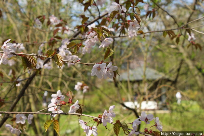 Японский сад в Москве, сакура