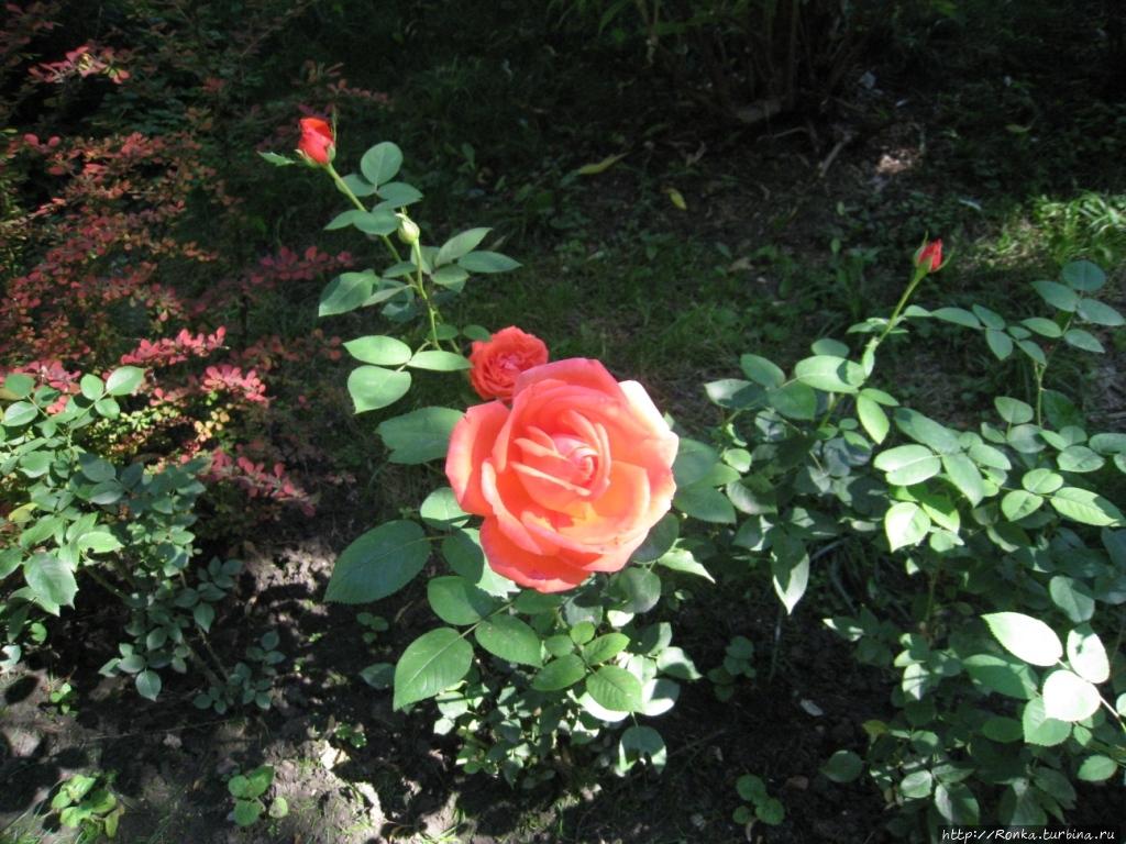 Клумба с розами на территории санатория им. Орджоникидзе