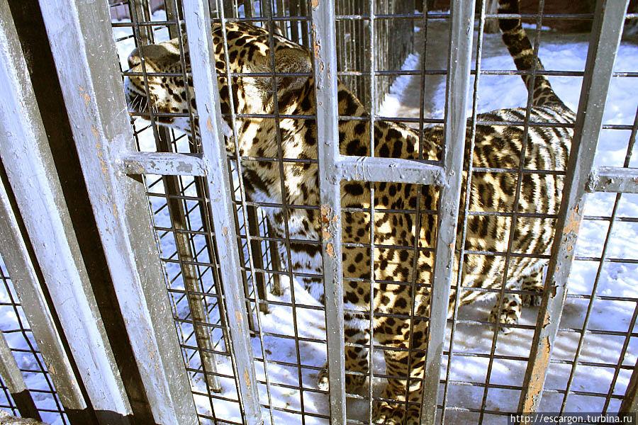 Ягуар (Panthera onca) — самка