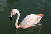 Если честно не знал, что  фламинго умеют плавать.