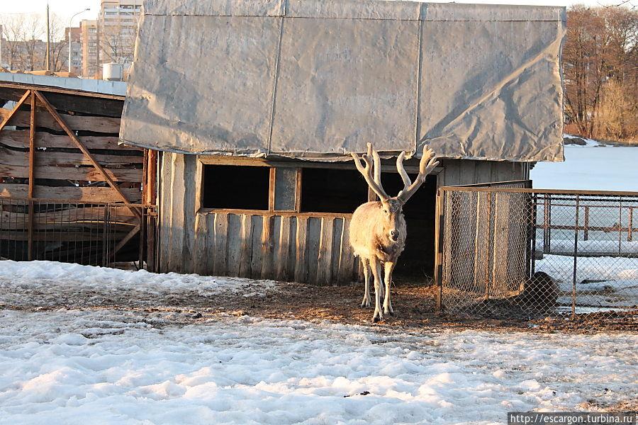 Олень Давида (Elaphurus-davidianus)  Редкий вид оленя, в настоящее время известен только в условиях неволи, где медленно размножается в различных зоопарках мира и интродуцирован в заповеднике в Китае. Зоологи предполагают, что первоначально этот вид жил на северо-востоке Китая.