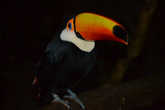Тукан в Парке Птиц в Игуасу.