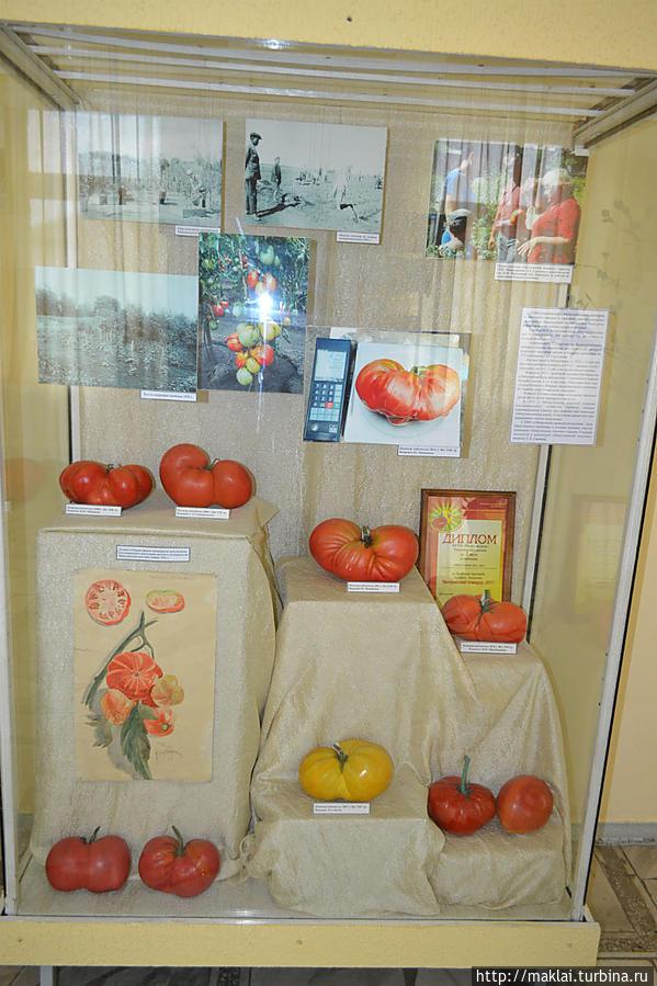 Знаменитые минусинские помидоры. Отдельные экземпляры превышают 2 кг.