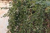 Это растение имеет несколько названий: — Диптам или Куст Моисея — Dictamnus albus -латинское название. — Ясенец белый — русский вариант названия этого растения. — и самое известное и самое распространённое название: НЕОПАЛИМАЯ КУПИНА